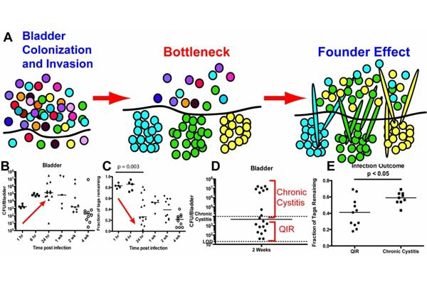 Fig. 2 A bacterial bottleneck early in infection limits genetic diversity of invading bacteria.