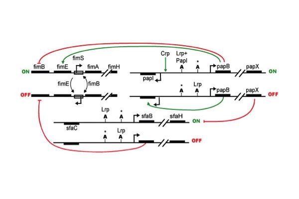 Fig. 11 Diagram of pilus regulation circuits.